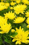 Chrysanthemum i potte (flere varianter)