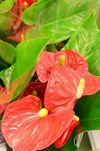 Anthurium ( Flamingoblomst) rød